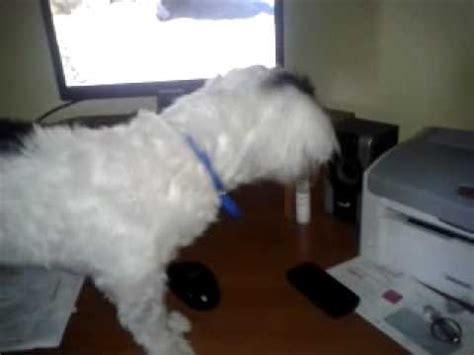 a havanese not to bark romi the havanese things we ve learned barking biting funnydog tv