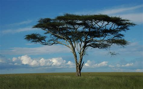 tree meaning acacia tree dream meaning dream about acacia tree