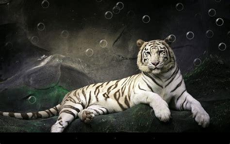 wallpaper android apk скачать бесплатно тигр живые обои на андроид
