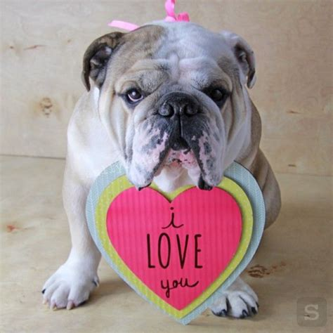 valentines day bulldog 篏 250 bim v 225 s hej ale nemus 237 te mi to ve紂a絅 kade tade