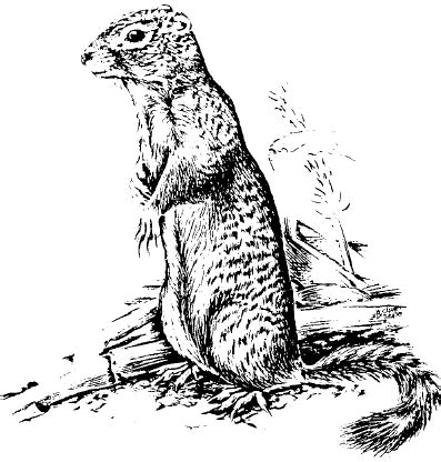 ground squirrel coloring page uinta ground squirrel coloring page animals town