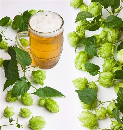 choosing the right hop for your homebrew castle rock