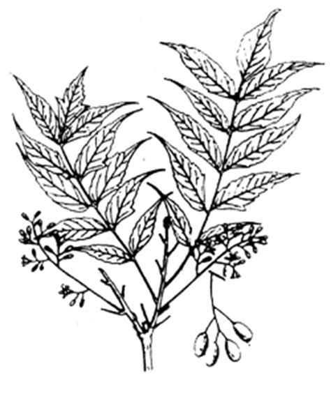 coloring pages of neem tree how to draw neem tree