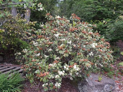 Botanical Gardens Northern California Plantfiles Pictures Rhododendron Species Rhododendron Burmanicum By Ericinsf