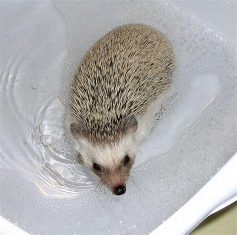 hedgehog bathtub hedgehogs taking bath 30 pics