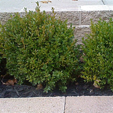 onlineplantcenter 2 gal green velvet boxwood shrub b25615