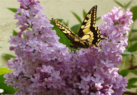 fiore lillà fiore di lill 224 la voce marinaio