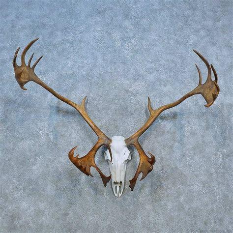 caribou skull antler european mount for sale 15530 the