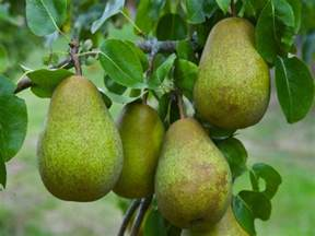 when do pear trees produce fruit pear tree multi variety fruit tree pear 5 varieties