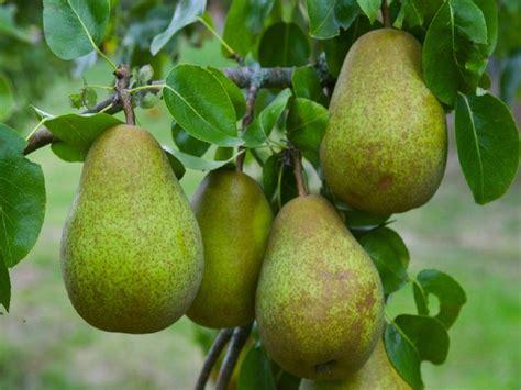 5 fruit tree pear tree multi variety fruit tree pear 5 varieties