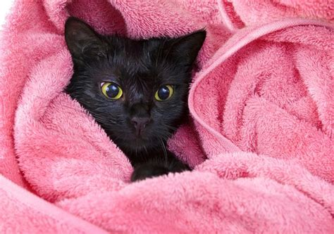 How Often To Shower A Cat by How To Bathe A Cat That Hates Water Bathing A Cat For The