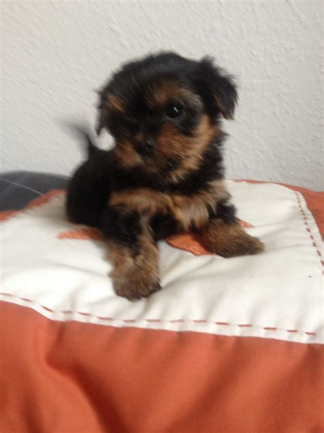 teacup terrier puppies teacup size puppies breeds picture