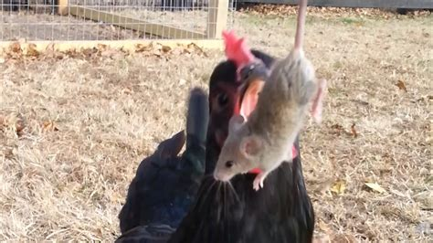 Would You Eat A Rat by Chickens A Mouse