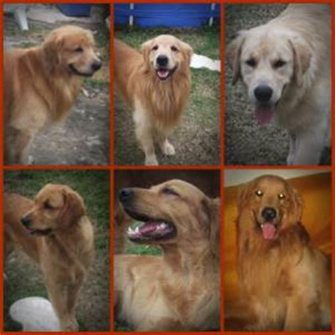 golden retriever venda golden retriever venda
