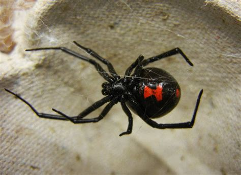 black widow animal you black widow spider