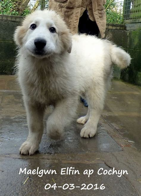pyrenean mountain pyrenean mountain puppies for sale kidwelly carmarthenshire pets4homes