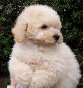 Poodle ou Caniche é uma raça de cães de companhia e estimação. Em