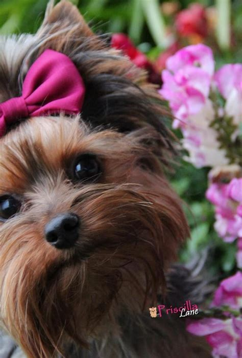 yorkie tooth loss 1157 best images about yorkies on terrier yorkie and