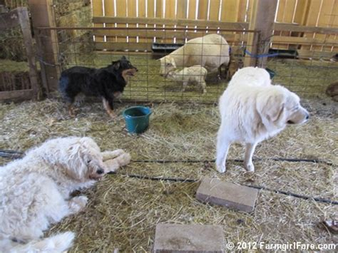 lambs farm puppies farmgirl fare tuesday dose of farm dogs and lambs