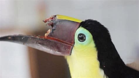 toucan loses half its beak in attack by thugs q costa rica