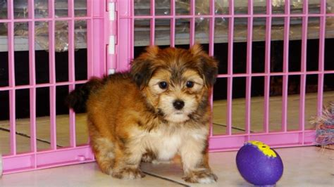 yorkie ton puppies for sale looking yorkie ton puppies for sale in atlanta ga at atlanta columbus