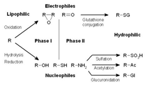 Phase 1 Vs Phase 2 Detox by Metabolism