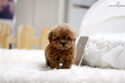 poodle puppies for sale near me where to get puppies near me pets world