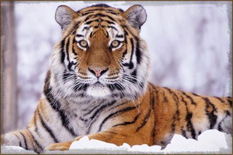 Imagenes De Tigres De Bengala | tigres de venga la related keywords tigres de venga la