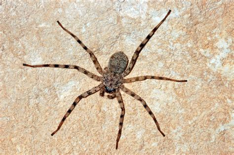Rock Spider by The Actual Gopher Snake Story And Other Reptilian Funsies