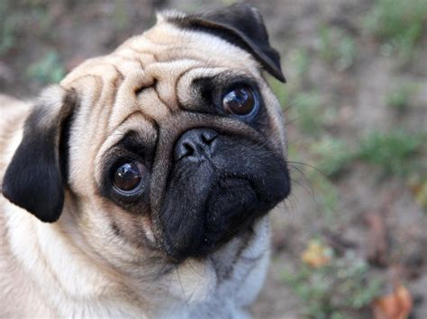 a picture of a pug pugs images beautiful pug hd wallpaper and background photos 13728067