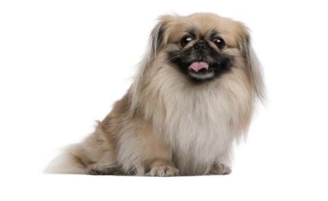 pekingese puppies for adoption pekingese puppies for adoption bazar