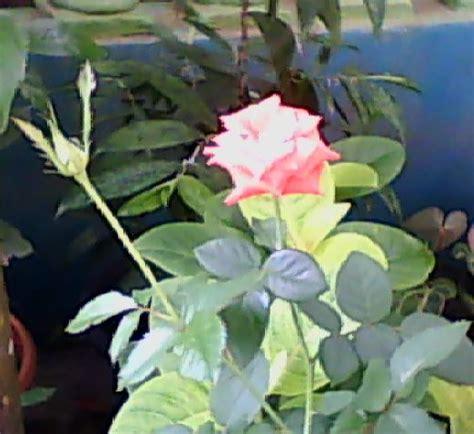 Pupuk Untuk Bunga Suplir cara menanam bunga pukul 10 tanamanbaru