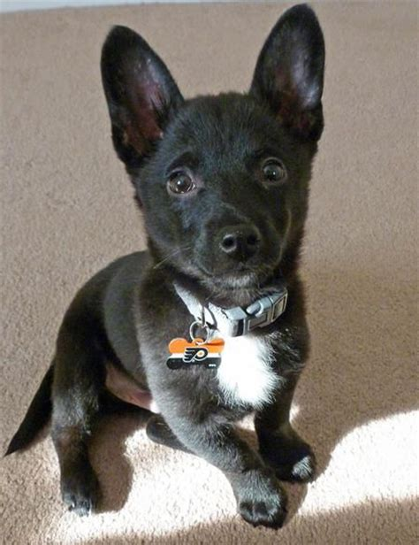 pomeranian mixed puppies 17 best ideas about pomeranian mix on dogs adorable puppies and