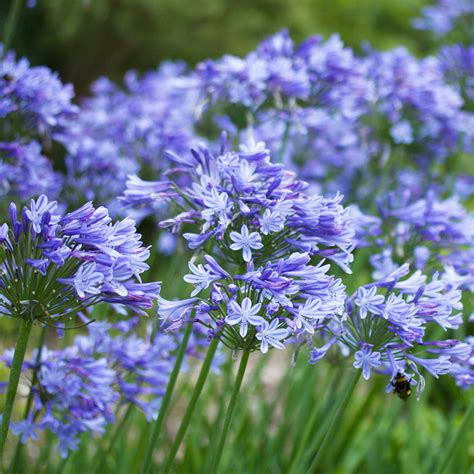 agapanthus blue storm african lily dobbies garden centres