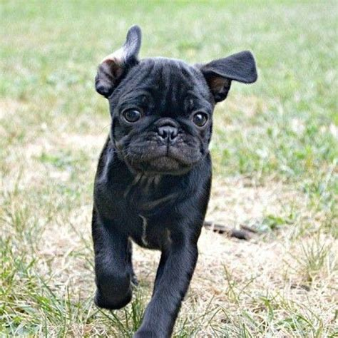 running pugs running black pug black puggies puppys and pugs