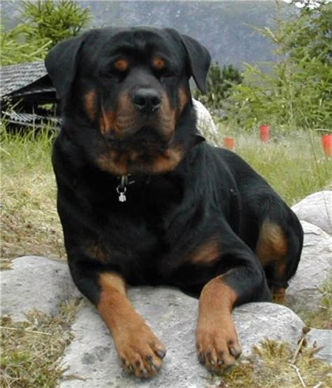 what were rottweilers bred for rottweiler rottweilers breed