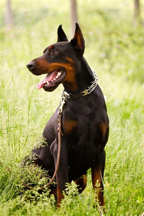 doberman pinscher rottweiler 10 beste waakhonden alletop10lijstjes