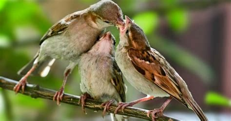 what do sparrows eat