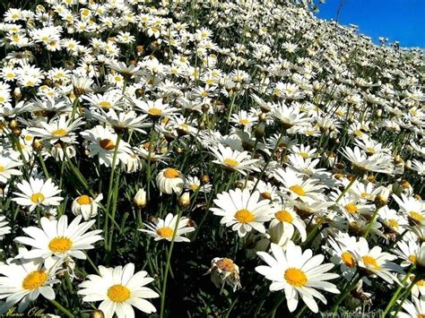 fiori camomilla camomilla infuso infusi camomilla come fare un infuso