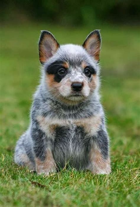 heeler puppies 17 best ideas about blue heelers on puppy breeds australian cattle