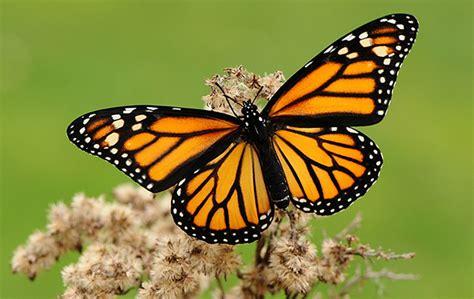 imagenes de mariposas monarcas la mariposa monarca en problemas otra vez