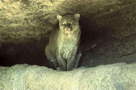 imagenes jaguarundi pictures of wild cat jaguarundi damn cool pictures
