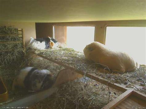 meerschweinchen schlafen schlafen meerschweinchenplattform