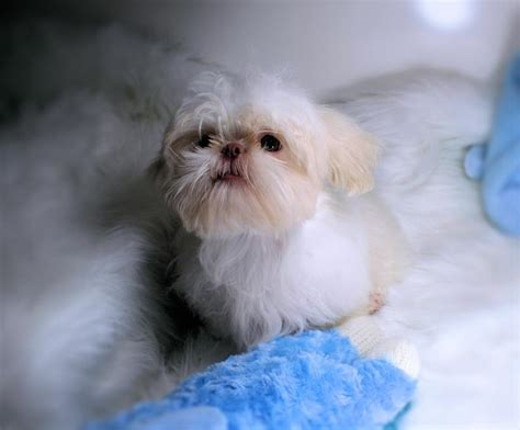 shih tzu breeders in washington state shih tzu puppies washington state assistedlivingcares