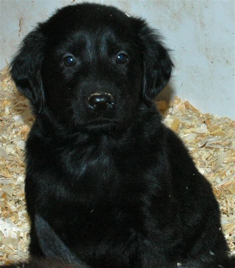 golden flat coated retriever puppies flat coated black retriever puppies www imgkid the image kid has it