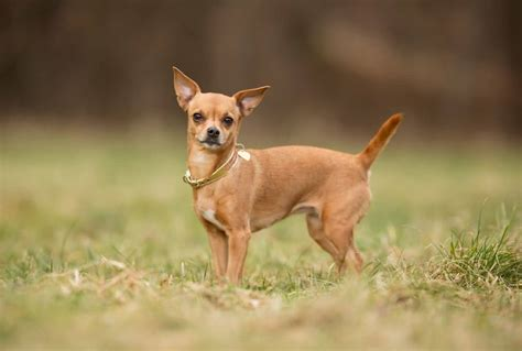 brown chihuahua puppy 55 cutest chihuahua dogs for home golfian