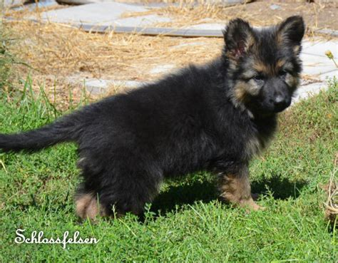 german shepherd puppies nebraska coat german shepherd puppies hair german shepherd puppies nebraska