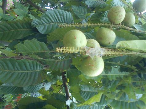 anika myrasa buah longan brazil