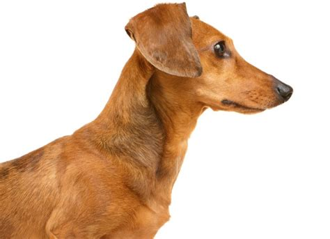 how do i get dog hair off my couch baldness and hormone related skin disorders in dogs petmd