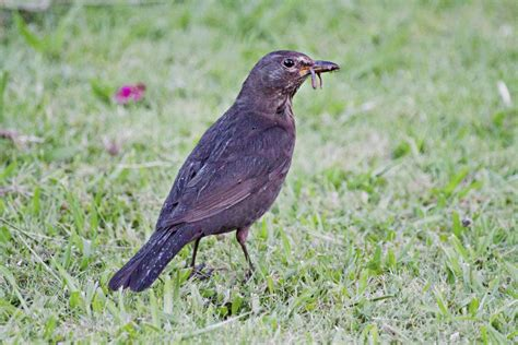 eurasian blackbird  zealand birds